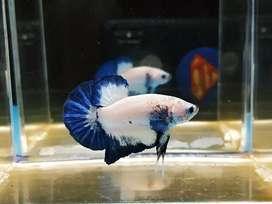 Ikan cupang blue rim jantan rim tebal