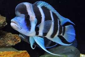 Frontosa Burundi fish fry