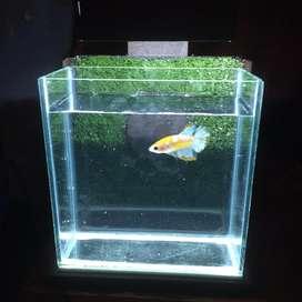 Aquarium Ikan Cupang Selfie dengan Background dan Lampu