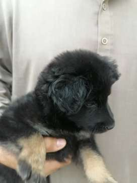 Pkc Pedigreed long coat german shepherd male puppy, imported bloodline