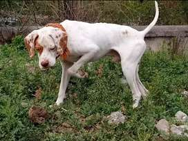 English. Pointer Male age 11 month Full hunter and train dog for sale