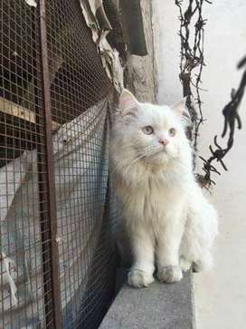 Persian cat for mating