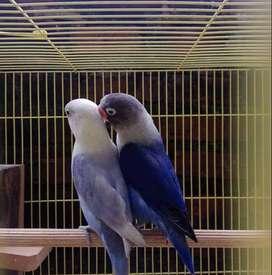 Lovebird violet sepasang