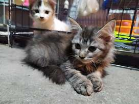 Domestik mix Mainecoon, Betina 4 bulan