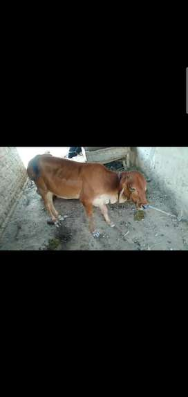 cow is for sale in reasonable price