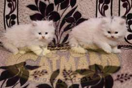 white persian kittens available