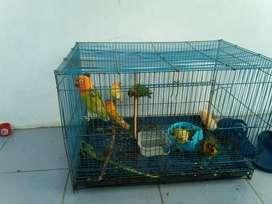 love bird umur 4 sampai 5 bln