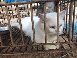 Kucing persia sepasang