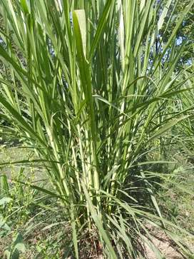 Super napier grass stems