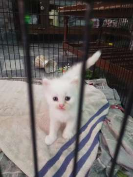 Cat for sale 3coat white