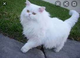 Persian cats for sell