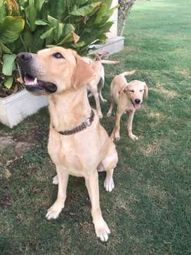 Labrador puppies and Adults for sale at discounted price!!