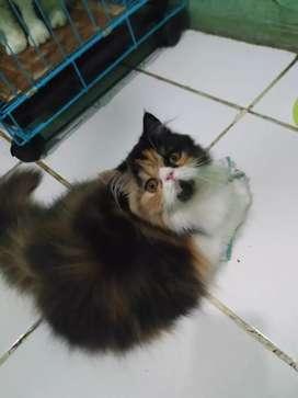 kitten Kucing persia peaknose exotic longhair betina