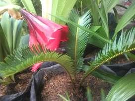 Tanaman palem sikas, palm