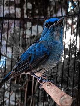 Burung selendang biru jantan ( baca deskripsi )
