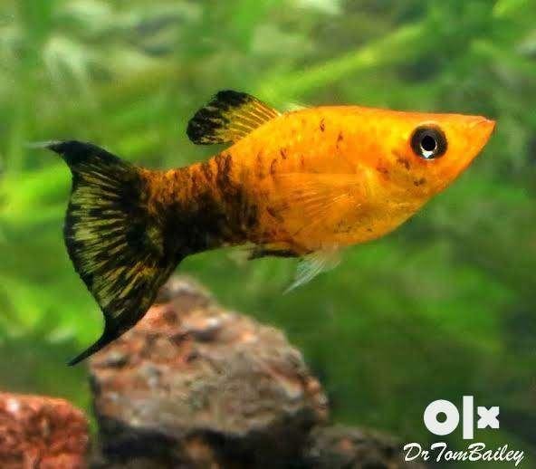 Panta molly baby fish 0