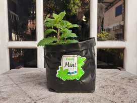 Bibit Daun Mint Jambi