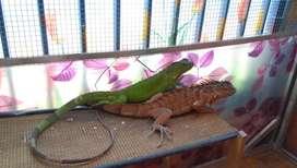 Jual rugi paket 3 iguana juve, cz ditinggal kerja luar pulau
