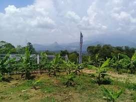 Jual Tanah Produktif Potensi Menguntungkan Kebun Pisang Cavendish