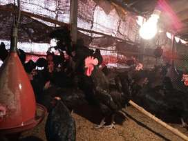 Australorp breeder available for sale in karachi age 5 month