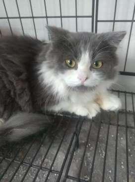 Kucing Persia Medium Bulu Kapas Gembul