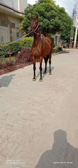 Pure thoroughbred horse for sale