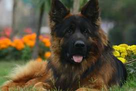 Long haired tripal coated imported parants puppy