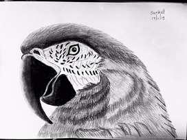 Bolivian Macaw Pencil Sketch