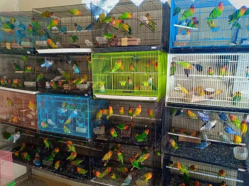 Grosir burung love bird kualitas terbaik harga murah