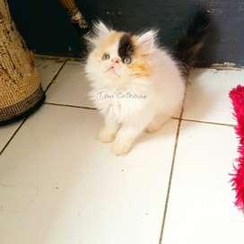 Kucing Persia peaknose kitten