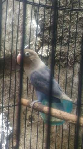Lb lovebird betina dewasa pasvio