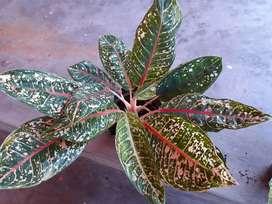 Dijual tanaman Aglaonema