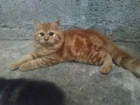 Kucing persia kitten persia gembul, big bone, long hair, bulu kapas.