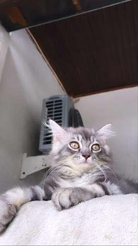 Lepas adopt kucing persia