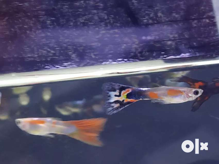 Good Quality Native guppies for sale 0