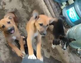 Anjing kampung berbagai umur