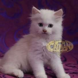 Persian kitten top quality price negotiateable