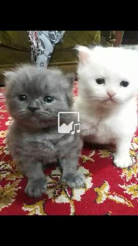 2 Kittens pure Persion White and Gray Dol face