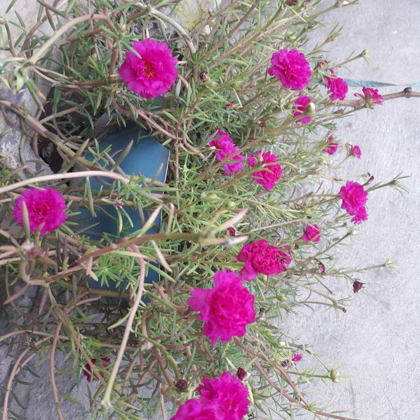 Moss-rose Double Pink Heirloom plant 0