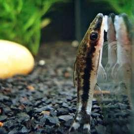 Ikan otto algae eater aquarium