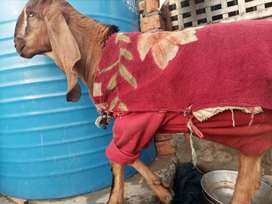 Bakri for sale