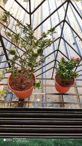 Sweet Lemon bonsai like plant