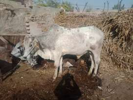 1 desi dajli jawan wachha for sell in bahawalpur,,