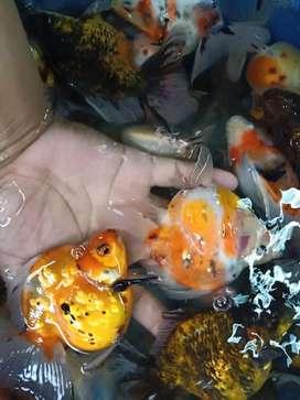 ikan maskoki jumbo