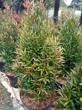 tanaman hias pucuk merah super plus pot , ukuran 1mtr.