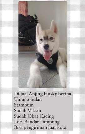 ANAKAN ANJING Siberian husky