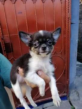 Chihuahua Longhair Betina