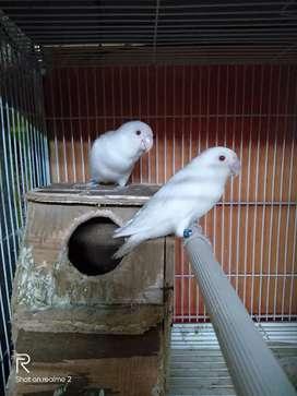 Albino MM betina