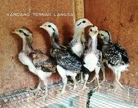 Anak ayam pamagon kaki ijo