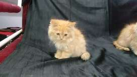 Beautiful Golden treple coat pershiyan kittens for sale